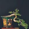 Cây Linh Sam bonsai phong thủy như hình