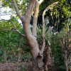 cây lộc vừng dáng đẹp gốc to lâu lăm hoa nhiều