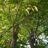 cây mận cổ thụ 30 năm tuổi gốc cực to