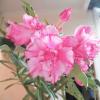 Bán cây sứ hoa đẹp, thân cao, gốc to. Cây như hình